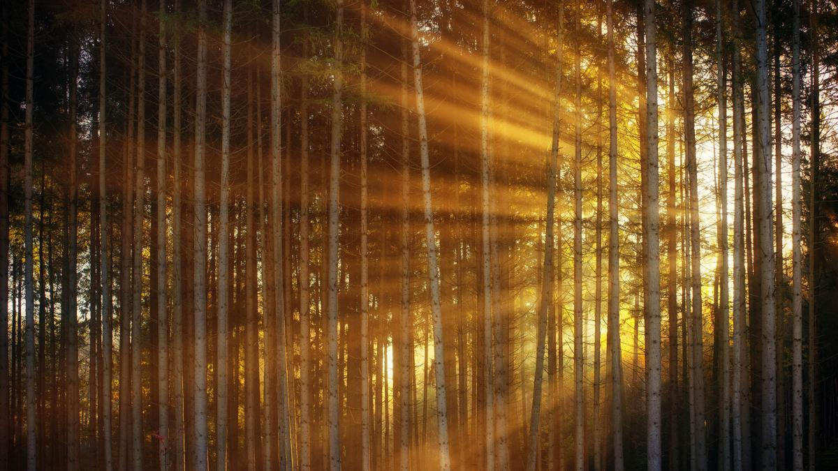 Kuvassa on metsää. Aurinko nousee puiden lomasta ja sen säteet täyttävät kuvaa